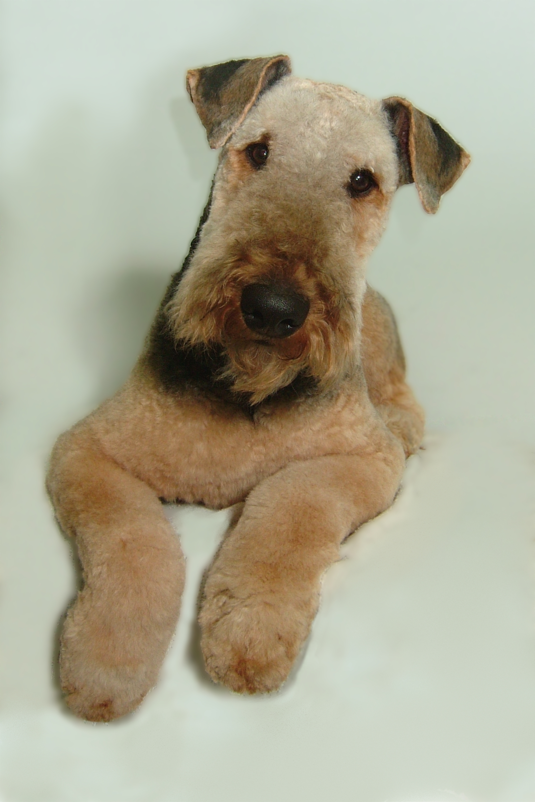 Airedale-Breed-Clip