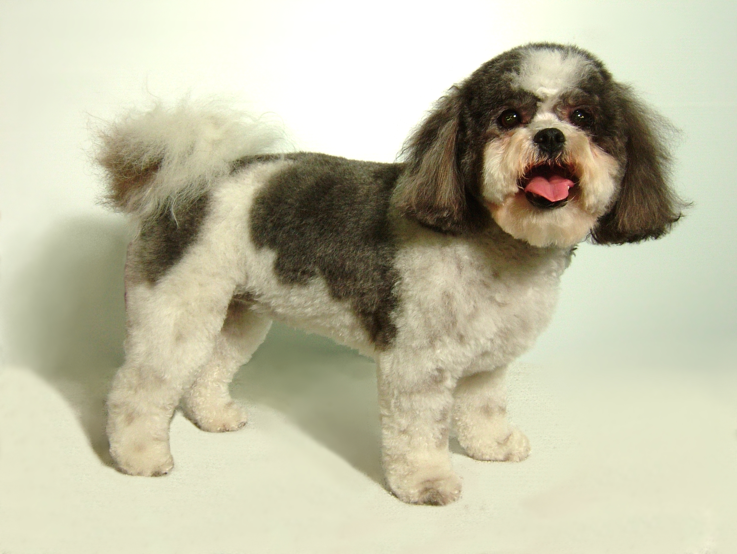 Bichon-Shih-Tzu-Puppy-Cut