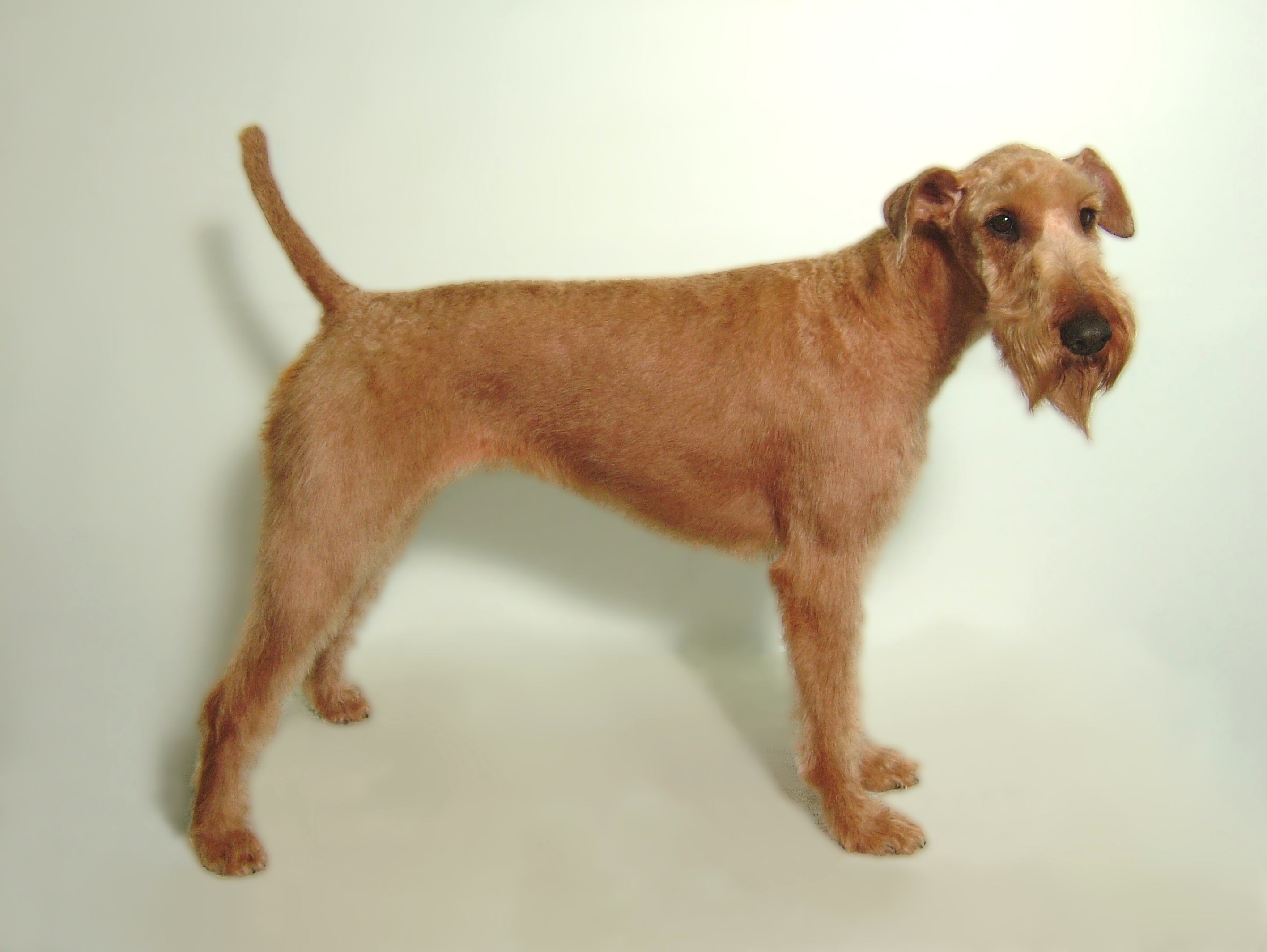 Irish-Terrier-Breed-Clip