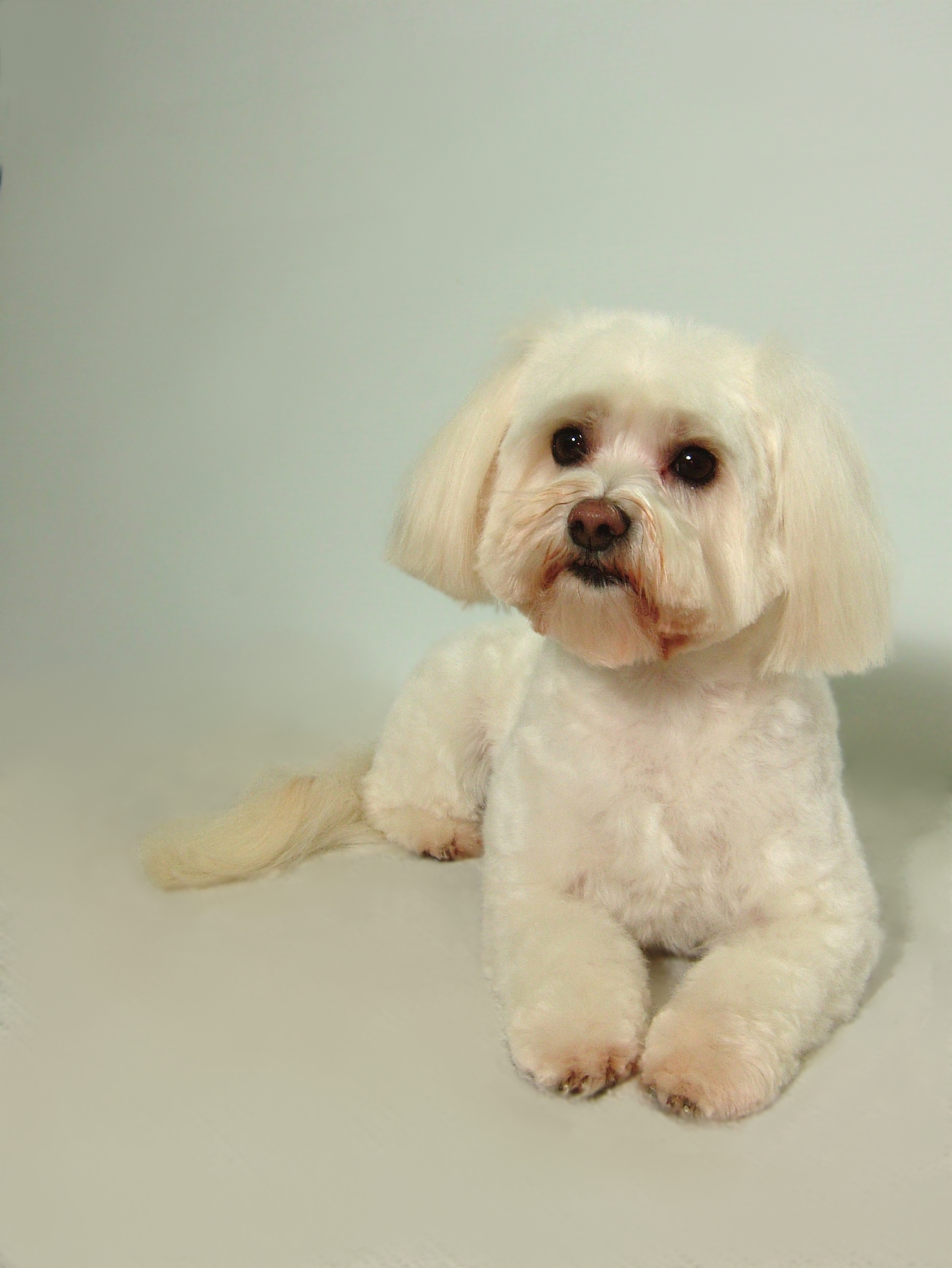 Malti-poo-Puppy-Cut-with-Daisy-Face