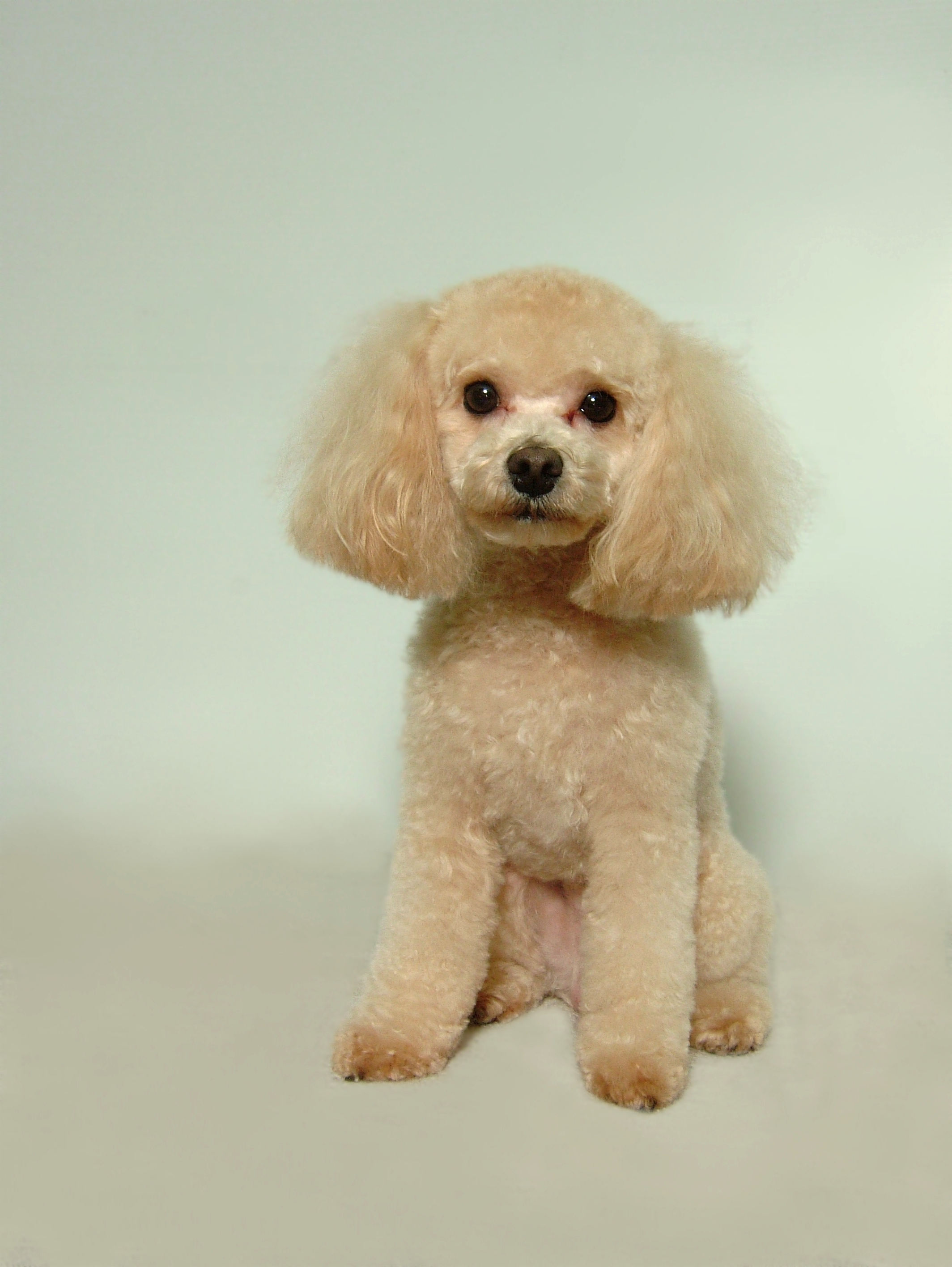 Malti-poo-Short-Puppy-Cut-with-Four-Face