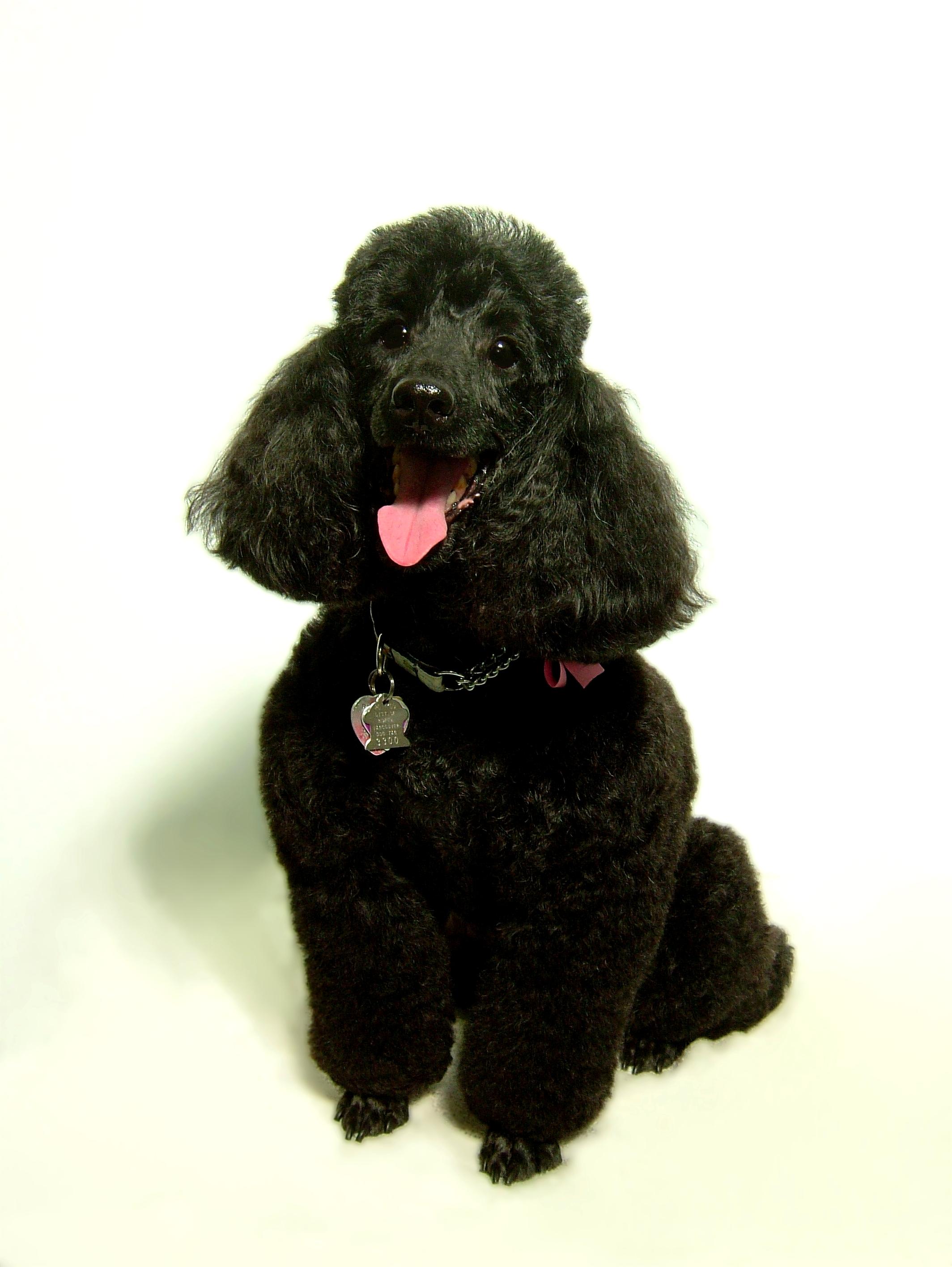 Miniature-Poodle-Kennel-Cut