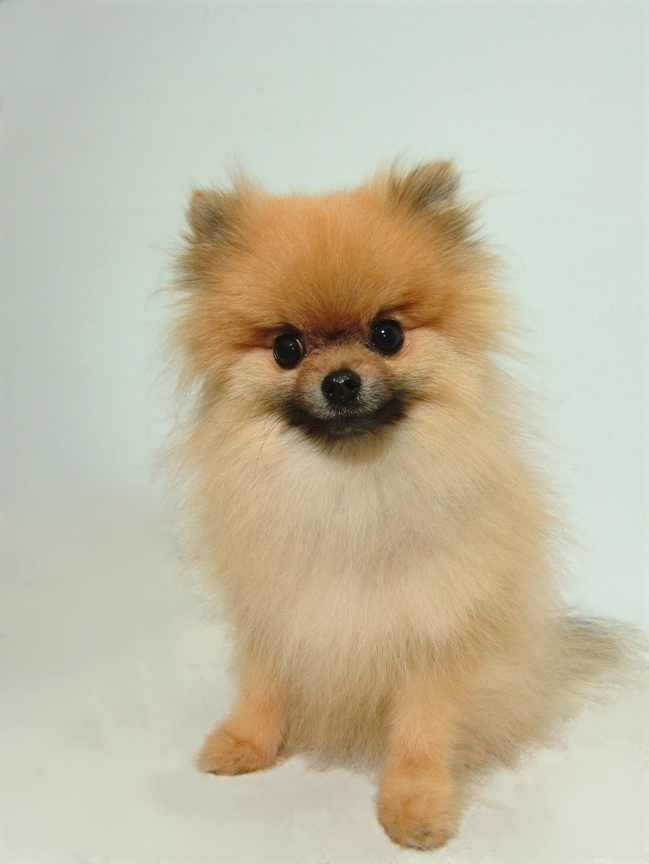 Pomeranian-Bath-Brush-and-Tidy