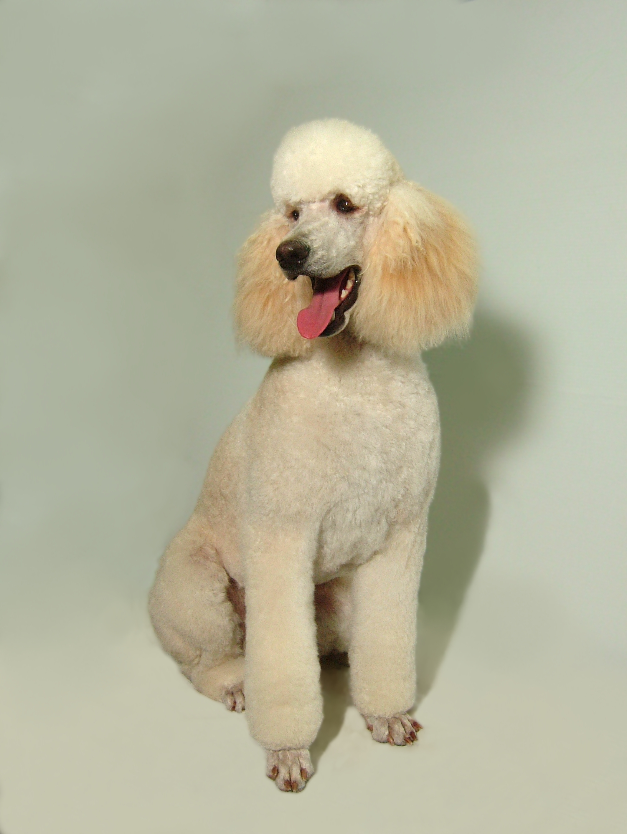 Standard-Poodle-Kennel-Cut-2