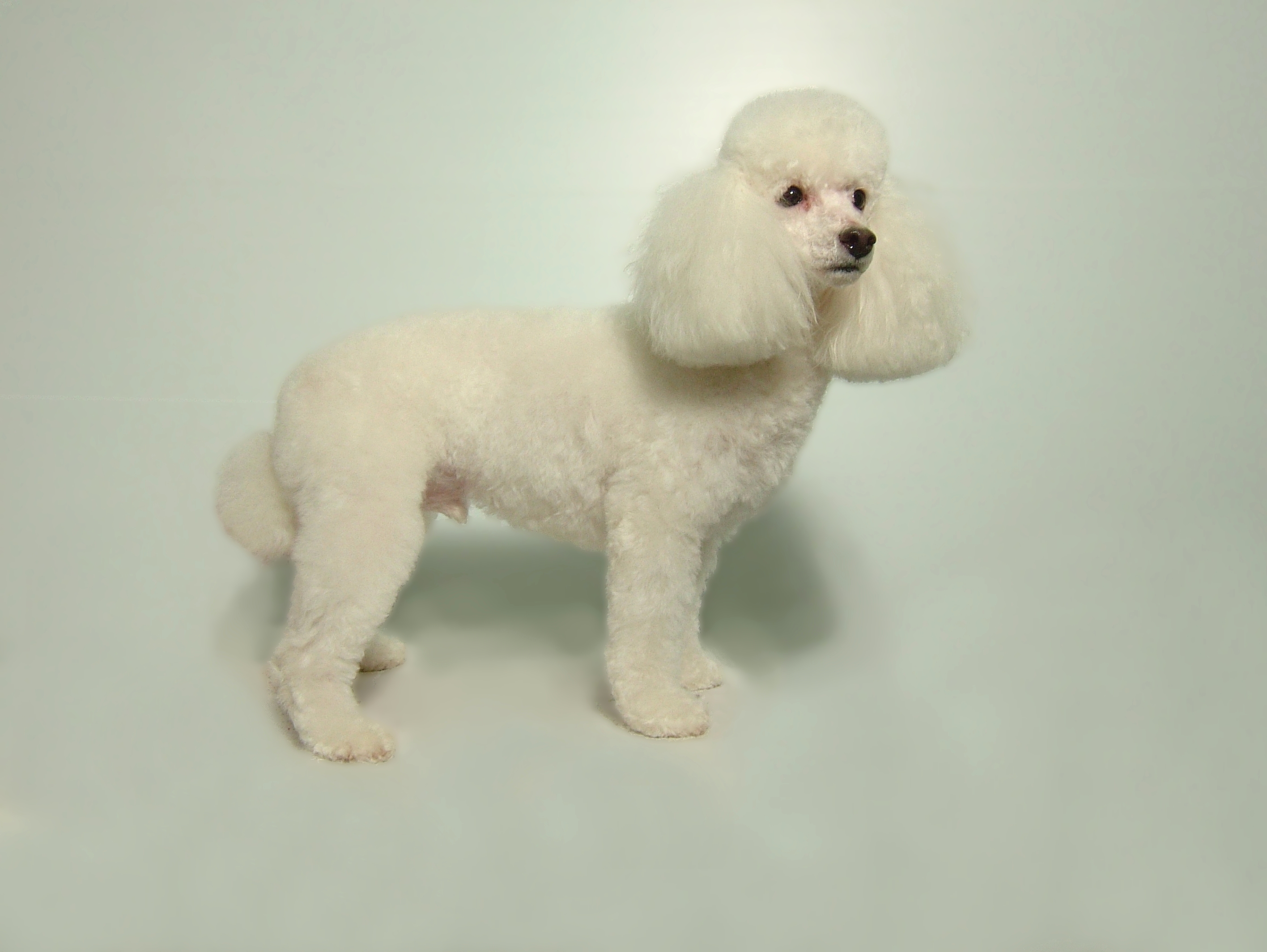 Toy-Poodle-Puppy-Cut-with-Clean-Face