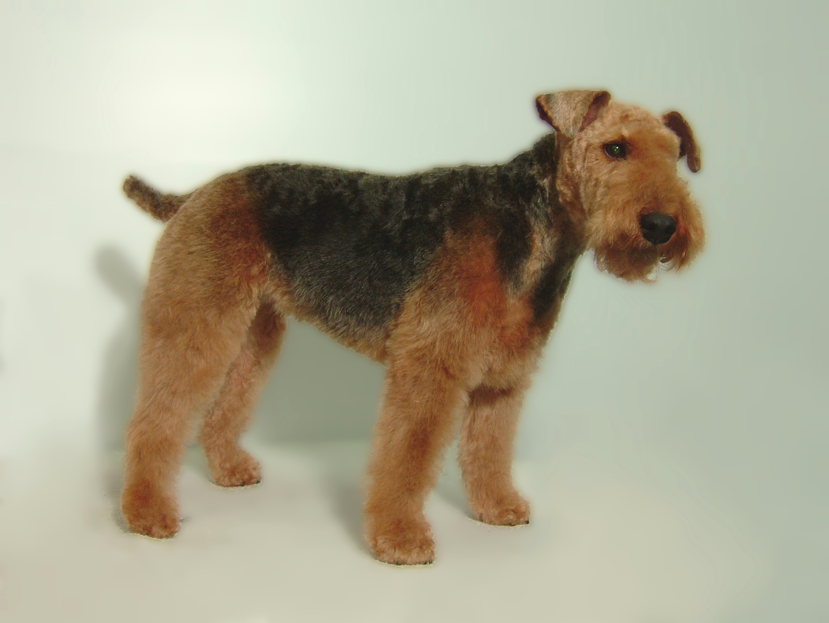 Welsh-Terrier-Breed-Clip-2