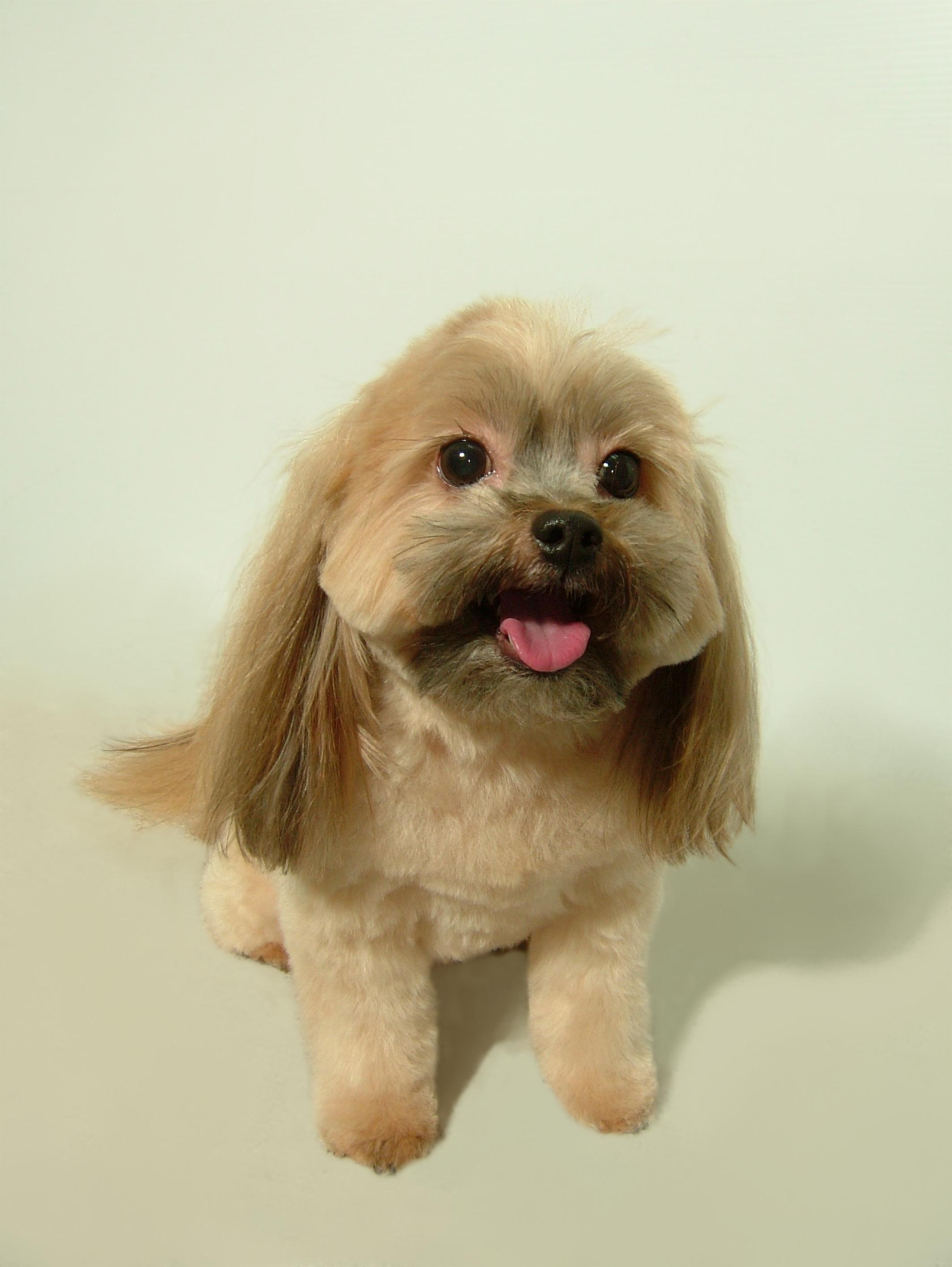 Yorkie-Cross-Puppy-Cut