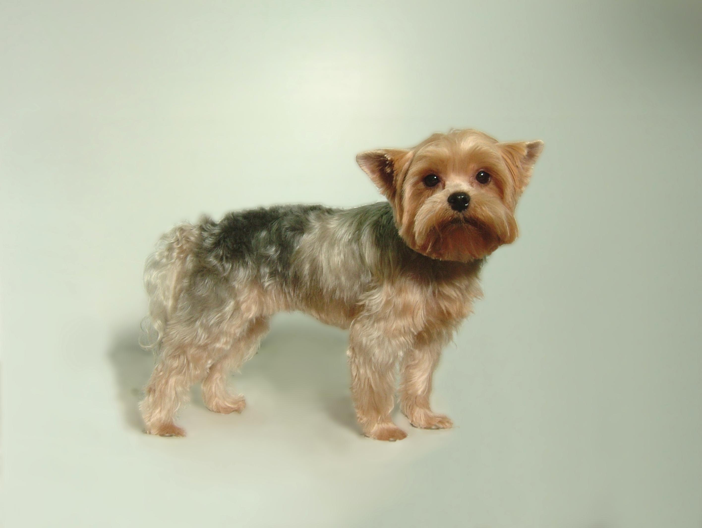Yorkie-Puppy-cut-with-Yorkie-Head