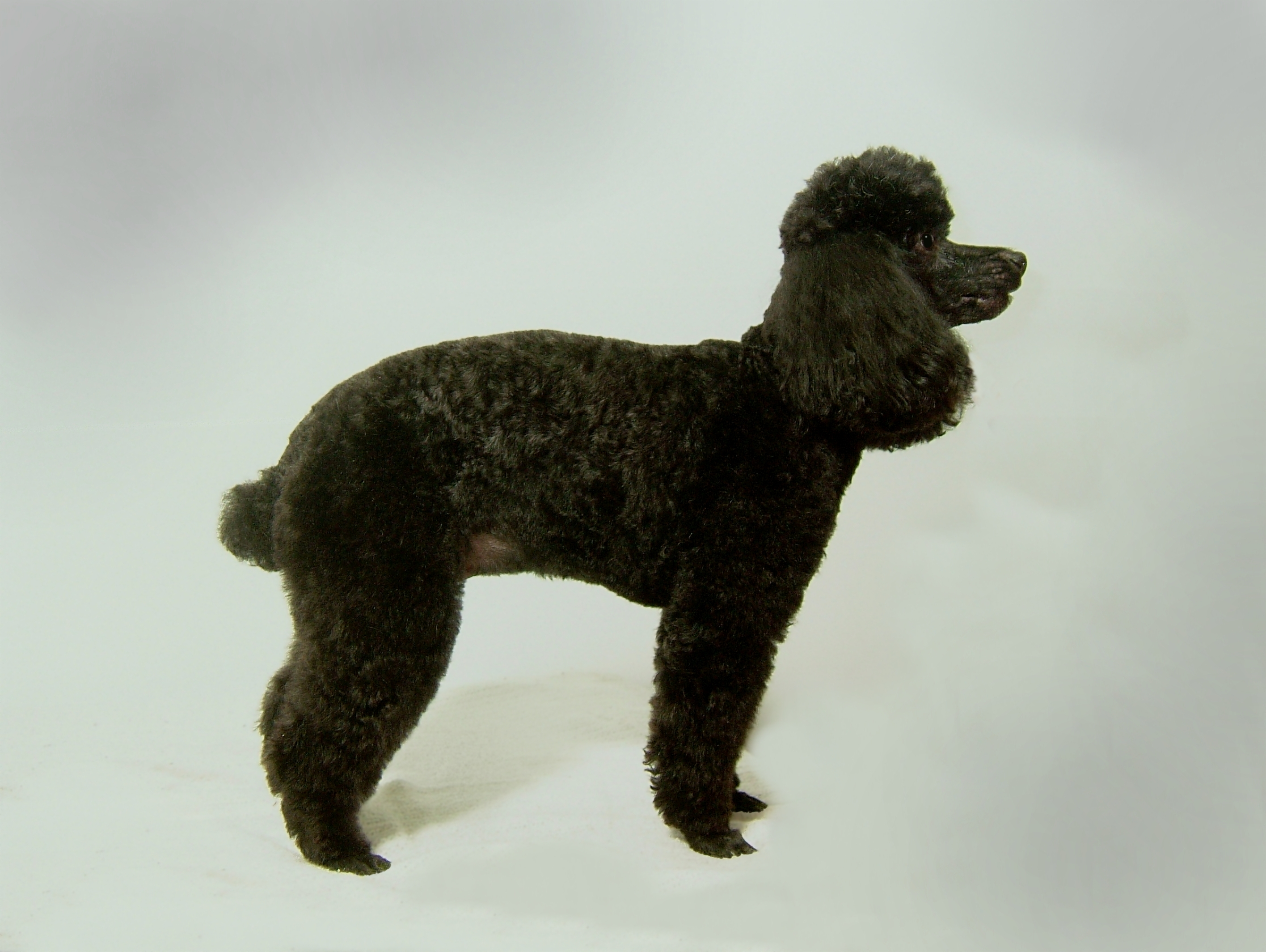 toy-poodle-kennel-cut-poster