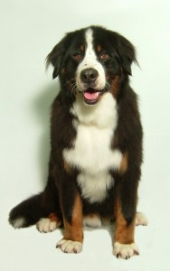 Bernese Bath, Brush and Tidy