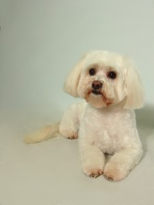 Malti-poo Puppy Cut with Daisy Face