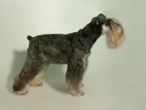 Modified Schnauzer Breed Clip