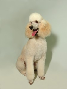 Standard Poodle Kennel Cut 2